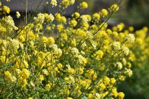 Senfpflanze Foto Vincent Keiman